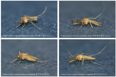일본뇌염 매개모기인 작은빨간집모기 암컷, 질병관리본부