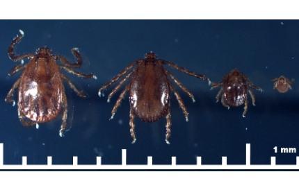 작은소피참진드기(좌로부터 암컷, 수컷, 약충, 유충)