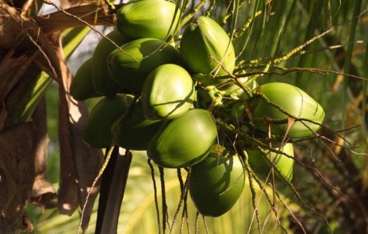 코코넛 열매