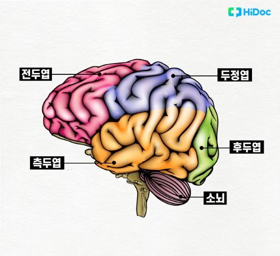 뇌구조 - 전두엽, 측두엽, 두정엽, 후두엽, 소뇌