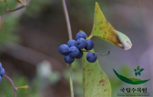 백두산에서 자라는 댕댕이나무 열매가 가진 효능은?